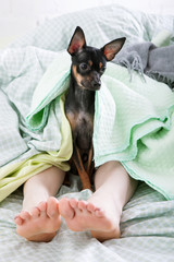 Good morning. Small dog in bed. Toy Terrier wake up owner, human friendship with puppy