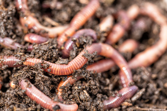 Macro shot of red worms Dendrobena in manure, earthworm live bait for fishing.
