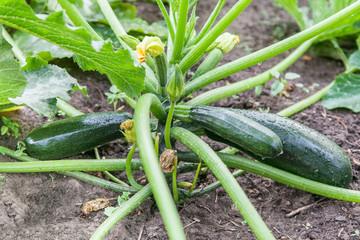 Green zucchini growing in garden