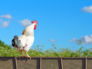 White cock is sitting on the fence and crowing. Rooster against the background of a blooming field and blue sky