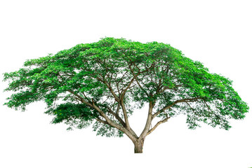 Green tree isolated on white background (Samanea)