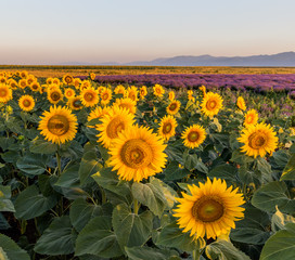 A field with a sunflower on the sunrise, Bulgaria