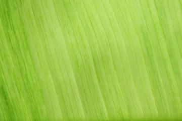 Leaves of banana trees