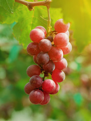 Bunch of grapes on tree