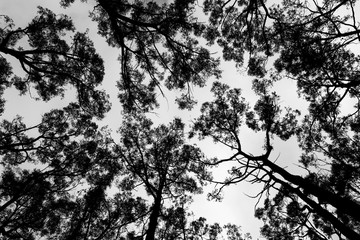 Gum Trees Against Sky Black and White