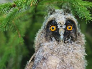 Bird owl with ears on a green spruce tree.