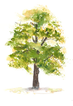 Green tree on white , watercolor painting