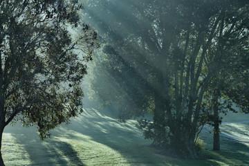 Sunbeams through woods. Sun rising behind the tree, neutral tone.