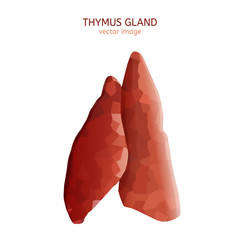 thymus gland image
