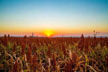 Photo sur Aluminium Rouge mauve sorghum field sunset background sertaozinho