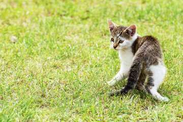 Grey and white kitten walking on the grass - frightened by something