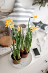 Flowering daffodils on a table