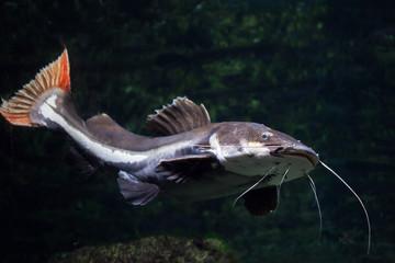 Fototapete - Redtail catfish (Phractocephalus hemioliopterus).