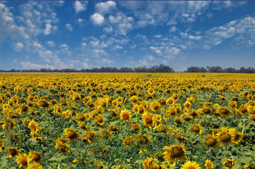 Field of sunflowers and blue sky background. Ukraine
