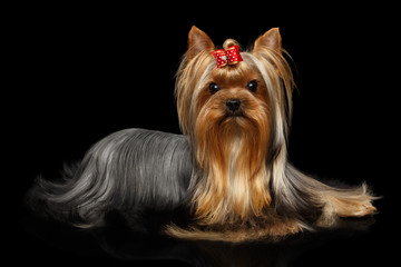 Yorkshire Terrier Dog Lying on Isolated Black Background with Reflection