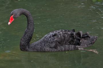 Fototapete - Black swan (Cygnus atratus).