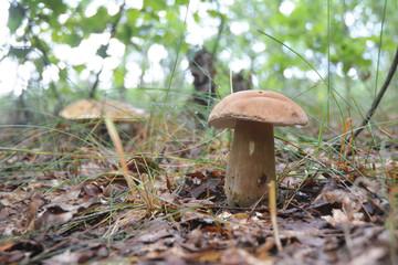 Gathering mushrooms. Mushroom hunting. Gathering Wild Mushrooms. Boletus edulis or penny bun, cep, porcino, porcini  or Edible Mushroom