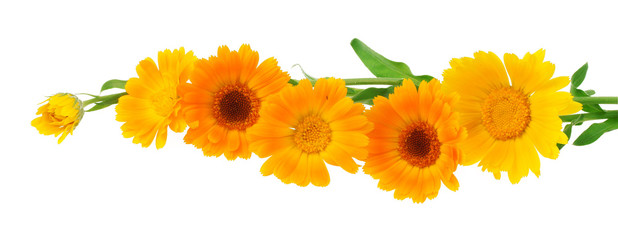 Calendula flower on a white background