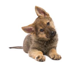 Begging Germand Shepherd puppy