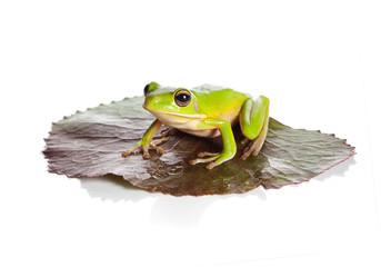 Photo sur Plexiglas Grenouille Isolated frog on leaf