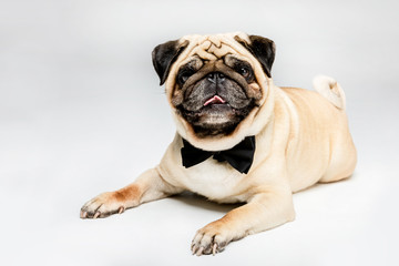 studio shot of cute pug dog in bow tie, isolated on grey