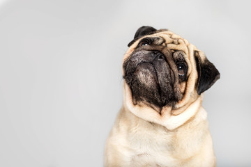 studio shot of funny pug dog, isolated on grey