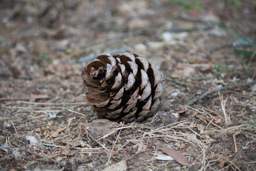 A pinecone laying on the ground