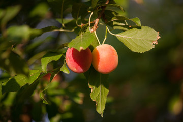 Two small plums hanging hanging in a tree in the sun.