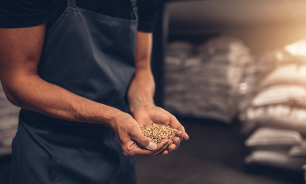 Hands of master brewer with barley seeds