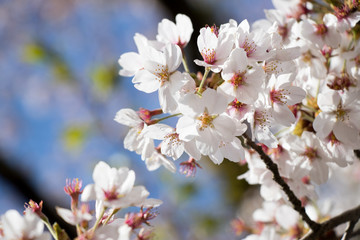 White cherry (Sakura) blossom in spring season with blue sky background