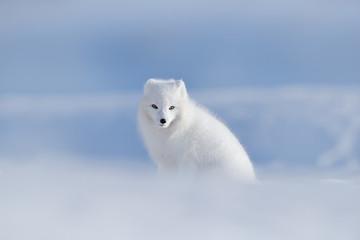 Polar fox in habitat, winter landscape, Svalbard, Norway. Beautiful animal in snow. Sitting white fox. Wildlife action scene from nature, Vulpes lagopus, in the nature habitat. Cold winter with fox.