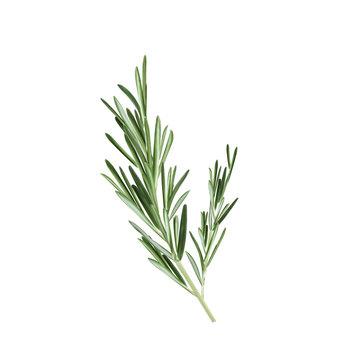 Sprig of rosemary vector illustration. Rosemary herb
