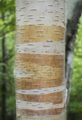Orange and White Birch Tree Bark
