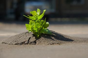The plant broke through the asphalt
