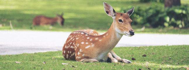 Close up image of deer sitting on grass yard in a park
