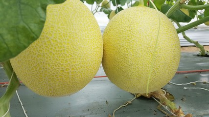 Melon Farm in Thailand./In the north east There is a large melon garden in Thailand./green fruit and yellow.