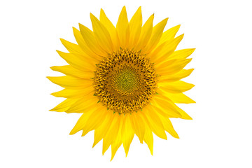 Sunflower isolated on the white background. Natural color and texture.