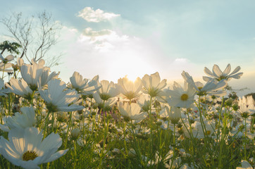 cosmos flower in fields with sky sunlight at sunset.