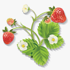 Vector realistic illustration of strawberry with leaves