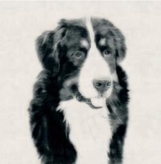 Collie Dog, black and white - Carcoal, Pencil Drawing