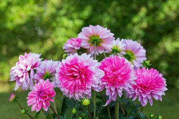 Pink dahlia bouquet isolated on green.