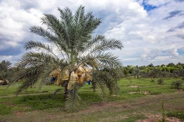 date palm field