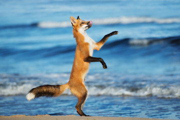 young fox playful on a beach
