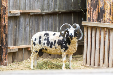 Four-horned ram