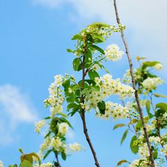 Brunch of apple blossoms