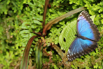 Dark green vegetation with butterfly. Tropic nature in Costa Rica. Blue butterfly, Morpho peleides, sitting on green leaves. Big butterfly in forest.