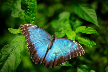 Blue Butterfly big Morpho, Morpho peleides, sitting on green leaves, Mexico. Tropic forest.