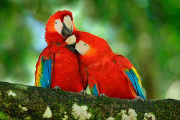 Red bird love. Pair of big parrot Scarlet Macaw, Ara macao, two birds sitting on branch, Costa rica. Wildlife love scene from tropic forest nature. Two beautiful parrot on tree branch, nature habitat.