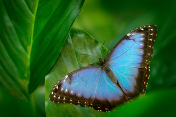Tropic nature in Nicaragua. Blue butterfly, Morpho peleides, sitting on green leaves. Big butterfly in forest. Dark green vegetation.