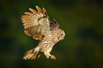 Wild nature with bird. Flying Eurasian Tawny Owl.